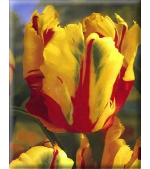 Tulipano pappagallo Texas...