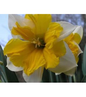 Narciso corona divisa Orangery