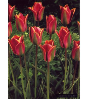Tulipano viridiflora...
