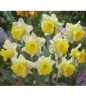 Narciso a tromba Goblet