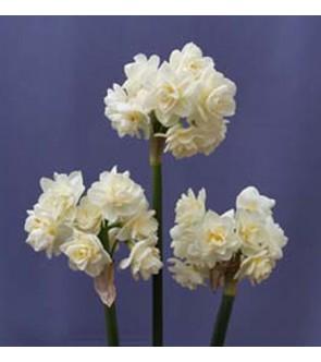 Narciso Paperwhite Erlicheer