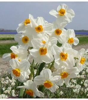 Narciso tazetta Geranium