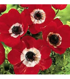 Anemone Coronaria Semplice...