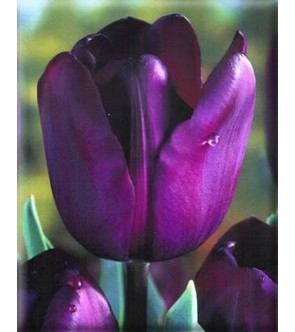 Tulipano stelo lungo Recreado