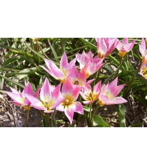 Tulipano Aucheriana