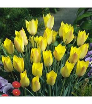 Tulipano Honky Tonk