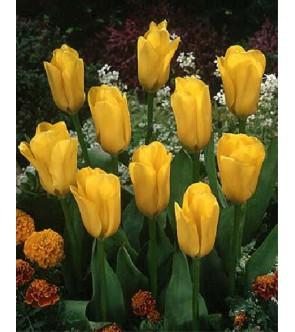 Tulipano botanico Golden...