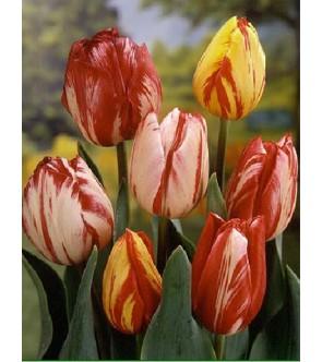 Tulipani Rembrandt in...