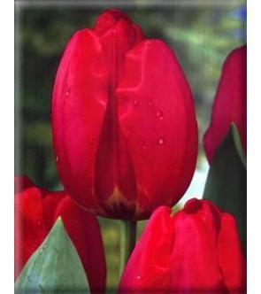Tulipano stelo lungo Parade