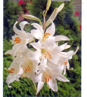 Lilium Candidum (Giglio di...