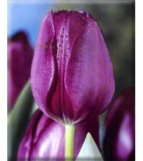 Tulipano stelo lungo Demeter