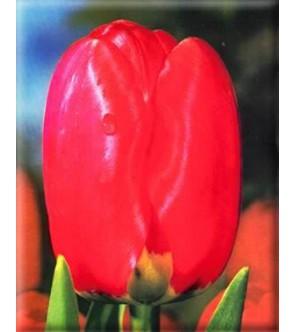 Tulipano stelo lungo Spring...