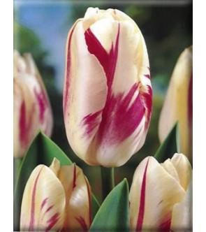 Tulipano stelo lungo Sorbet