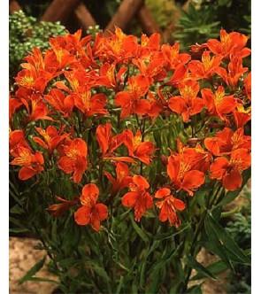 Alstroemeria aurea Orange King