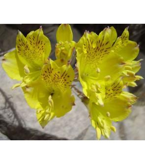 Alstroemeria Aurea Lutea