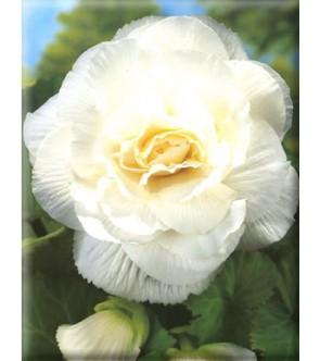 Begonia Doppia Bianca