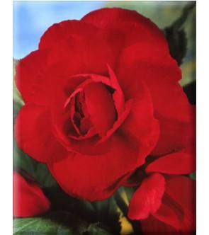 Begonia Doppia Rossa