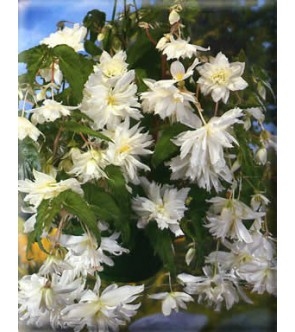 Begonia Pendula Bianca