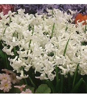 Giacinto multiflora White...