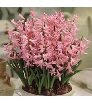 Giacinto multiflora Pink Pearl