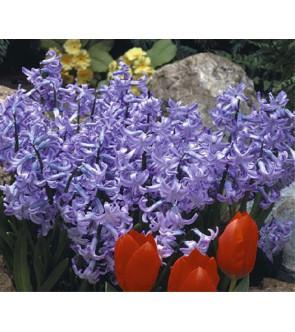 Giacinto multiflora Blue Pearl