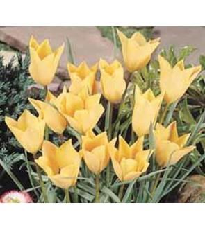 Tulipano batalinii Bronze...