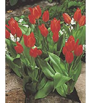 Tulipano Praestans Van...