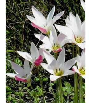 Tulipano Clusiana...