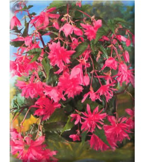 Begonia Pendula Rosa