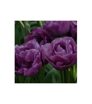 Tulipano doppio Backpacker