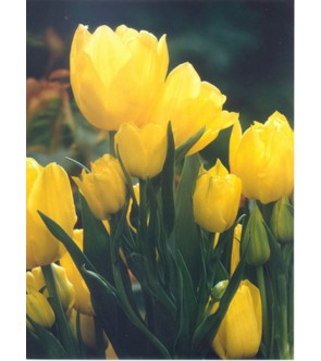 Tulipano multiflora Holland...