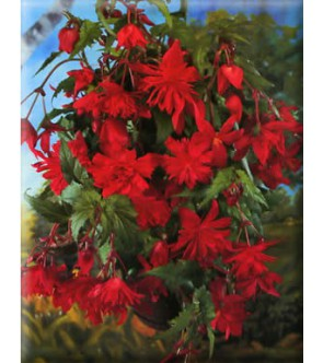 Begonia Pendula Rossa