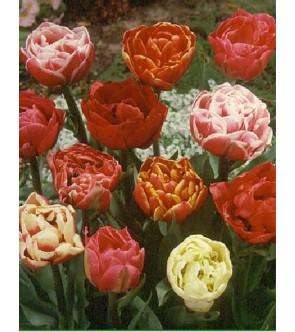 Tulipani Doppi in miscuglio