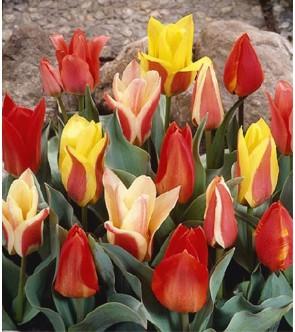 Tulipani Botanici in miscuglio