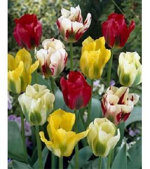 Tulipani Viridiflora in...