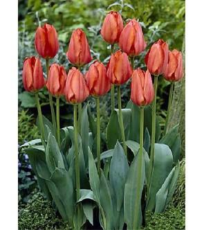 Tulipano stelo lungo...