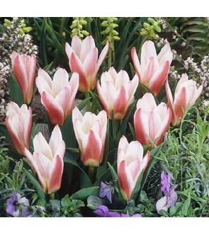 Tulipano botanico Red White...