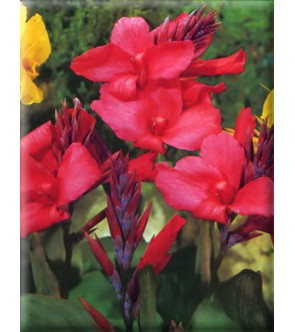 Canna Indica Orchid