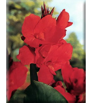 Canna Indica President