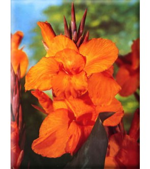 Canna Indica Wyoming