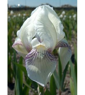 Iris germ. profumato...