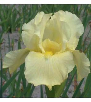 Iris germ. profumato Maui...