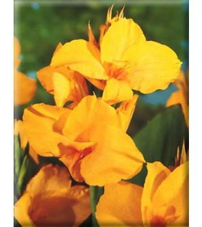 Canna Indica Yellow Humbert