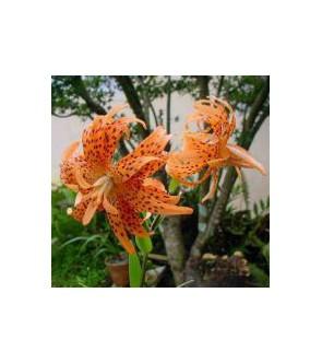 Lilium lancifolium flore pleno