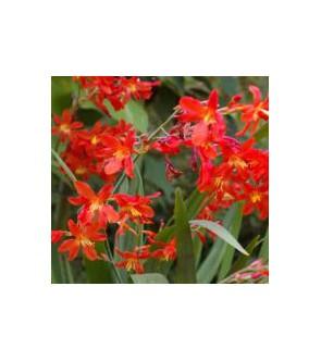 Crocosmia a fiore piccolo...