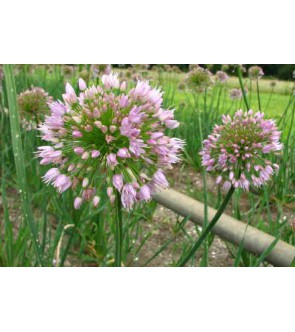 Allium Nutans