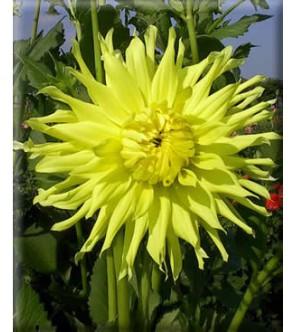 Dalia cactus Kennemerland