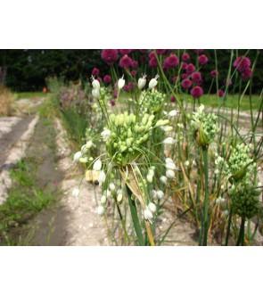 Allium carinatum ssp....