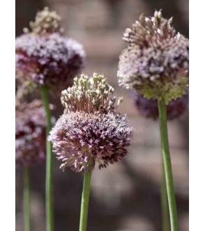 Allium amethystinus Forelock