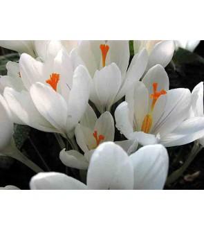 Crocus chrysanthus Aubade